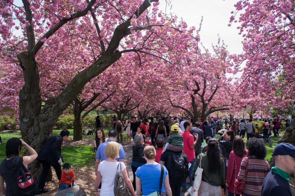 People taking photos of cherry blossoms on the trees
